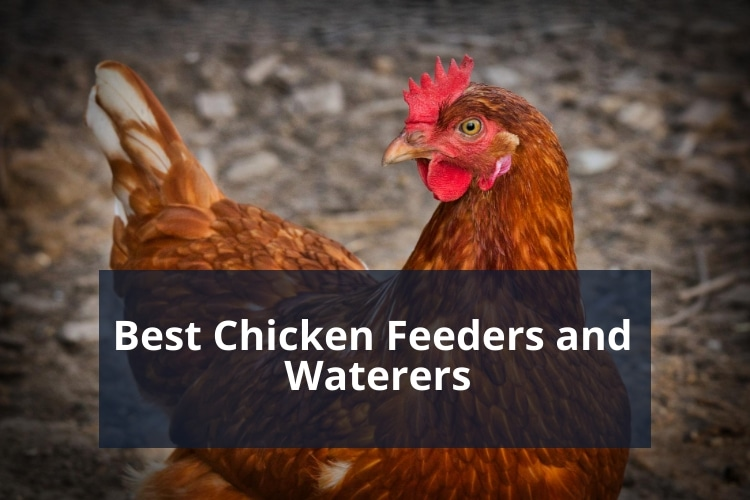 Best Chicken Feeders and Waterers
