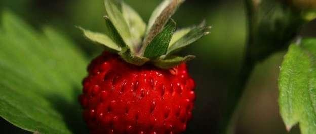 ertilizer For Strawberries
