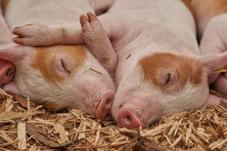 How to Find and Buy the Best Piglets