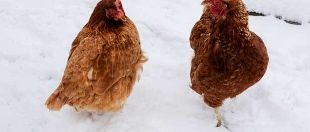Chicken Coop Heaters