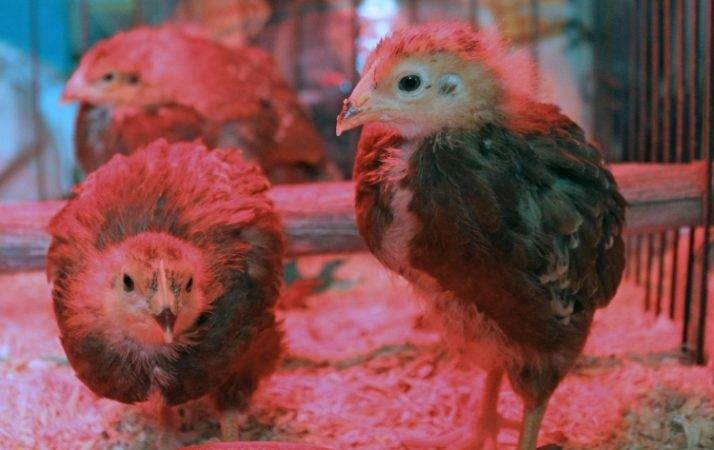 Heat Lamp For Chicks