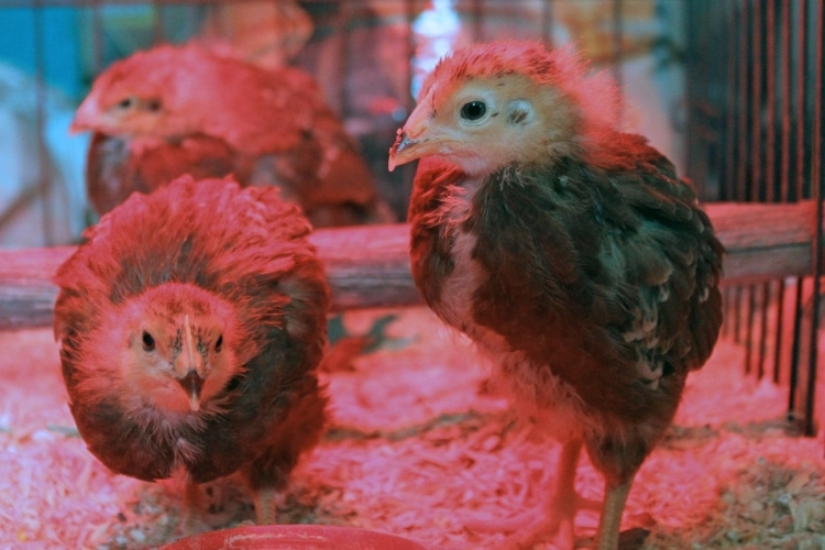 Best Heat Lamp For Chicks On The Market 2019 Update