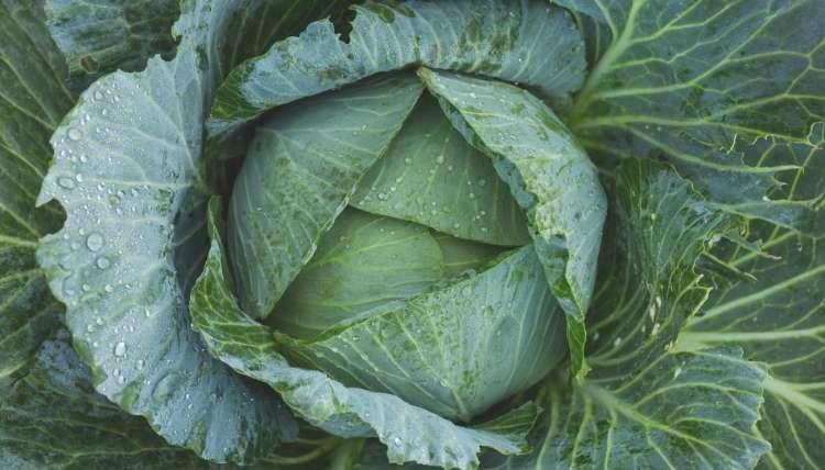 Fertilizer For Cabbage HOMEALL POSTS...5 BEST FERTILIZER FOR CABBAGE
