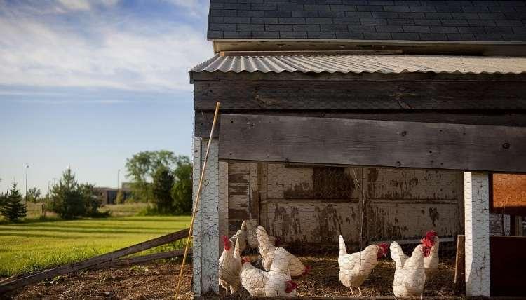 Clean Chicken Coop