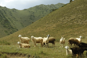 Different Goat Breeds