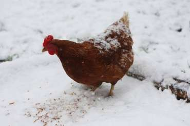 Chickens Stop Laying in Winter