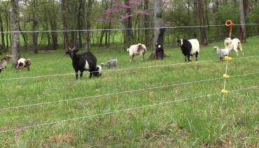 Install Electric Fence for Goats