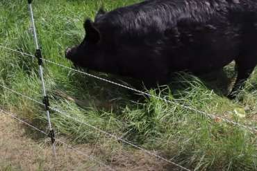 Electric Fence Charger for Pigs
